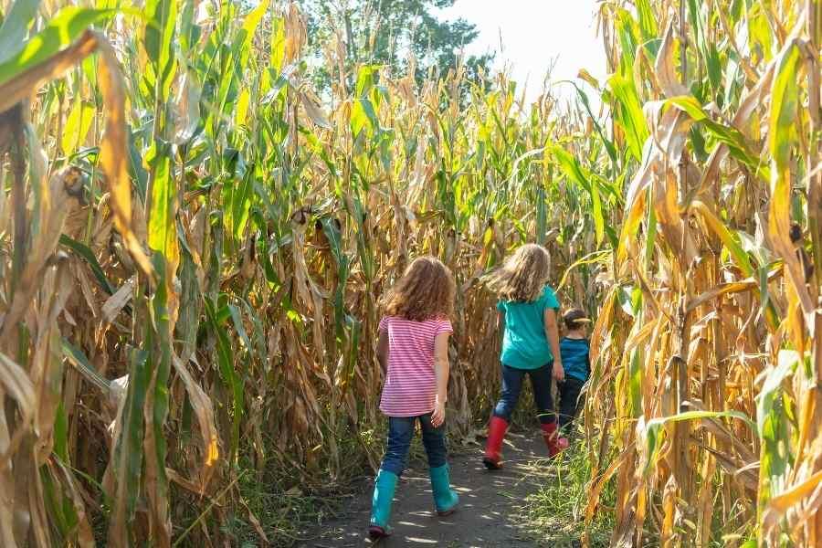 kids in a corn maze